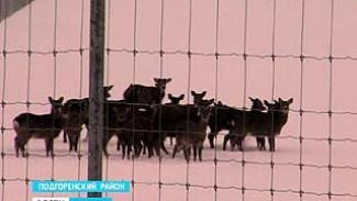 В одно из хозяйств Подгоренского района привезли оленей