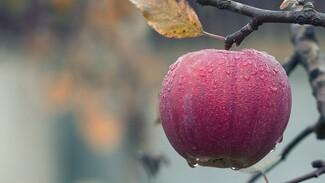 В Воронежской области высадят яблоневый сад на 400 га