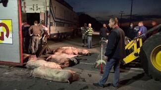 В перевернувшейся фуре в Воронежской области погибла 71 свинья