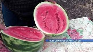 Горячая пора уборки арбузов наступила в Петропавловском районе