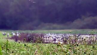 Сотни журавлей облюбовали озеро в воронежском заповеднике