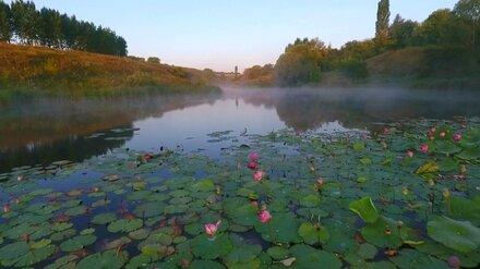 Уникальные лотосы в пруду под Воронежем спасут от уничтожения
