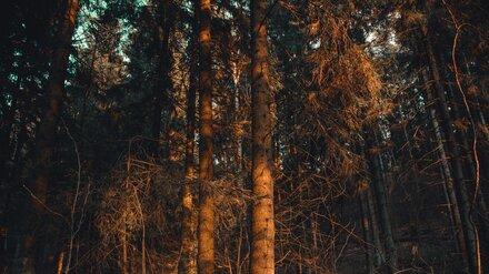 Сумчатый гриб Ценангиум привёл к массовому усыханию сосен в Воронежской области