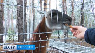 Воронежскому зоопитомнику подарили темпераментного самца гуанако Фиму
