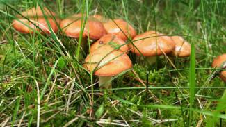 В Воронежской области шесть человек отравились грибами