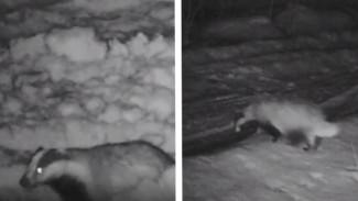 Воронежский заповедник поделился милым видео с проснувшимся барсуком