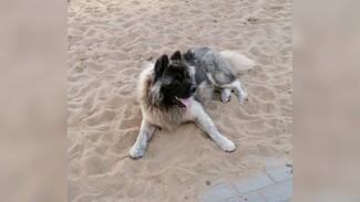 Скандальный воронежский зоозащитник заступился за пса, загрызшего маленькую собаку