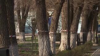 «Их нельзя убивать». Жители воронежского райцентра возмутились вырубкой аварийных деревьев