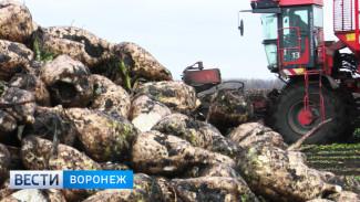 В воронежском хозяйстве урожайность сахарной свёклы достигла 792 центнеров с гектара