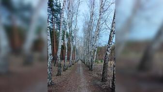 В Воронеже уничтожат двухкилометровую берёзовую аллею