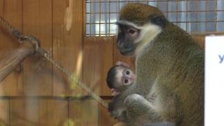 В Воронежском зоопарке у зелёных мартышек родился детёныш