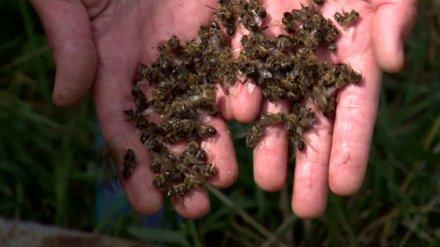 Россельхознадзор объяснил, почему в России массово гибнут пчёлы