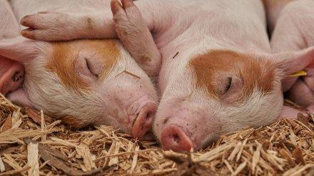 Крупнейший производитель свинины в Воронежской области открыл ферму под Тулой