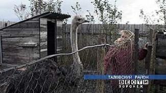 В Абрамовке разводят страусов