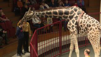 Дрессированный жираф Багир стал любимцем воронежцев