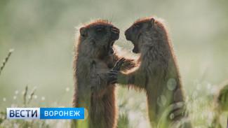 В Воронеже открылась фотовыставка о краснокнижных сурках