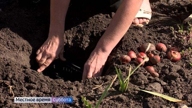 Воронежский агроном рассказала, когда и как сажать тюльпаны