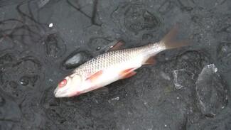 В воронежской реке массово погибла рыба