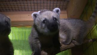 В Воронежском зоопарке поселились три любопытные носухи