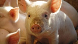 Воронежских свиней, коров и кур посадят на «волчьи бобы»