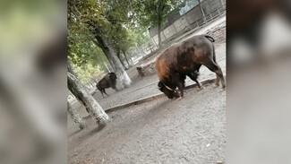 Огромные бизоны устроили скачки в сквере у цирка в Воронеже: появилось видео