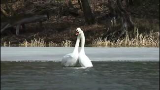 Танец влюблённых лебедей заметили на воронежской реке: появилось видео