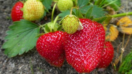 В Воронеже вырос спрос на рассаду клубники и помидоров