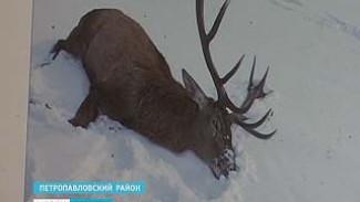 В Петропавловском районе возбуждено уголовное дело по факту убийства оленя