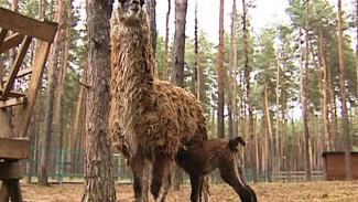 Родители-ламы не подпускают сотрудников Воронежского зоопитомника к детёнышу