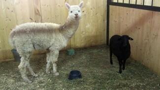 В Воронежском зоопарке появились альпака и маленькая бурская коза