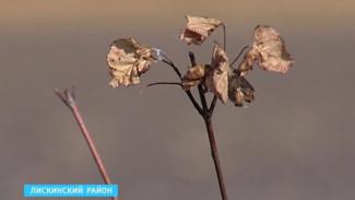 Тысячи саженцев в лискинском «Лесу Победы» погибли без полива