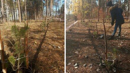 Воронежцы высадили более 100 сосен в Северном лесу