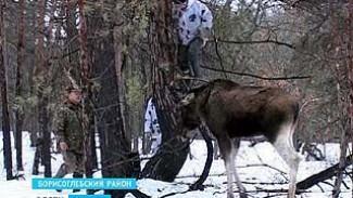 В Борисоглебске в браконьерский капкан попался лось - животное пытались спасти, но не успели