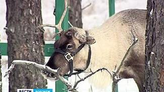 В подсобное хозяйство Воронежского зоопарка привезли северного оленя