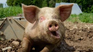 Россельхознадзор обнаружил в Воронежской области 200 кг свиной печени с антибиотиками
