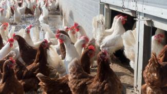 Россельхознадзор ограничил экспорт продукции воронежского «Лиско-Бройлера»