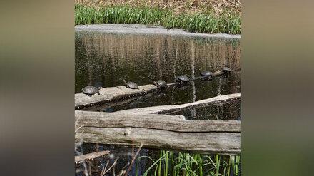 Воронежцы показали фото загорающих черепах на уникальном озере