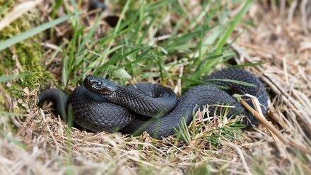 Воронежцам назвали самый опасный вид змей в регионе и рассказали, что делать при укусе