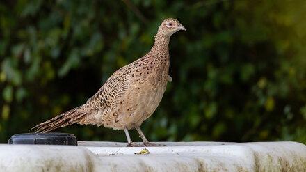 В Воронежском заповеднике впервые заметили фазана