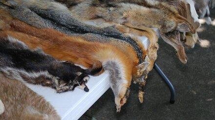 В Воронеже разрешения на отстрел лисиц выдавали с нарушениями