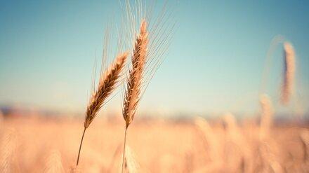В Воронежской области поставили исторический рекорд по сбору зерна