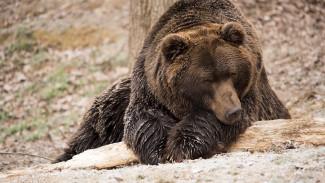 Дело о нападении медведя на 2 человек под Воронежем дошло до главы СКР