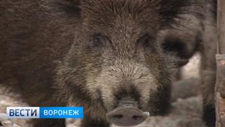 В Воронежской области продолжают отстреливать кабанов