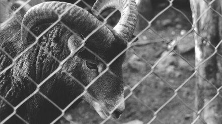Двое воронежцев избили сторожа фермы и украли барана