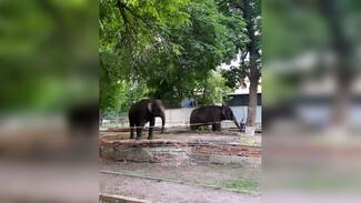 Воронежцы сфотографировали прогулку слонов у цирка