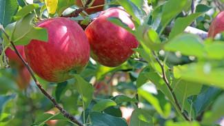 В Воронежской области посадят яблоневый сад на 500 га