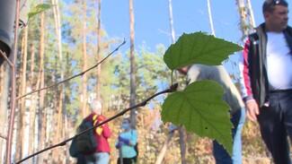 В воронежском Северном лесу высадили экспериментальные берёзы