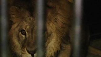 Эксклюзивные кадры львиного рандеву в Воронежском зоопарке