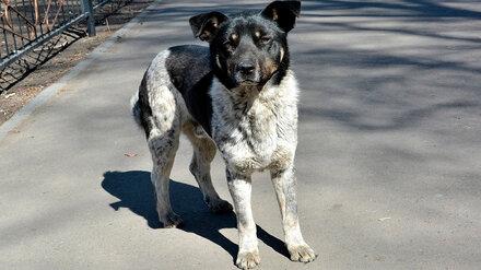 Отловленных в Воронеже собак выпустили без вакцинации в другом городе