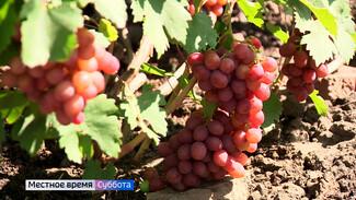 Воронежский агроном рассказала, как помочь винограду хорошо дозреть